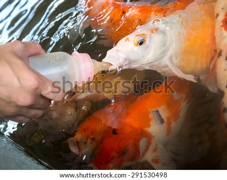 Fancy Carp Fish feeding