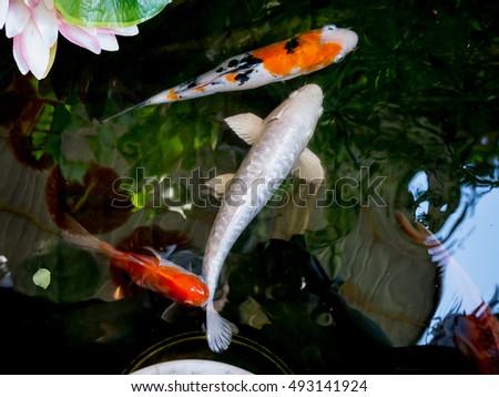 Goldfish aquarium group fish on background stock photo for Fancy koi fish