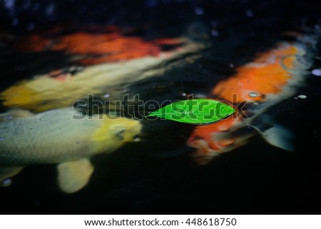 "Fancy carp or ""Koi fish"" swimming at pond in the garden"