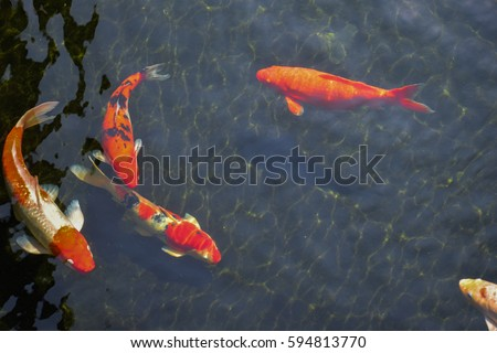 Koi fish stock images royalty free images vectors for Koi pond you can swim in