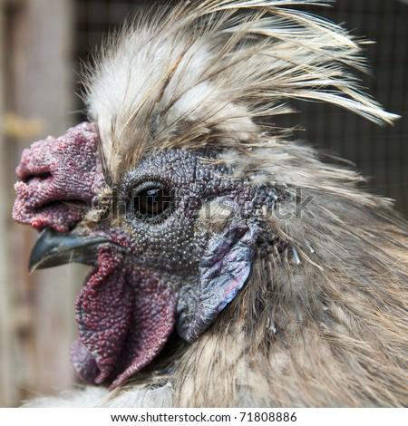 Fancy Chicken - stock photo