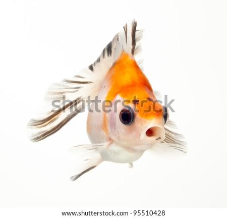 fancy goldfish isolated on white background - stock photo