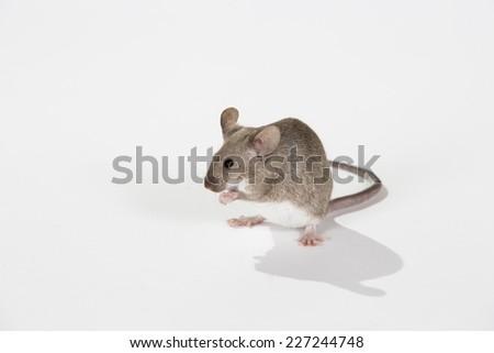 Fancy mouse washing itself. Image taken in a studio. - stock photo