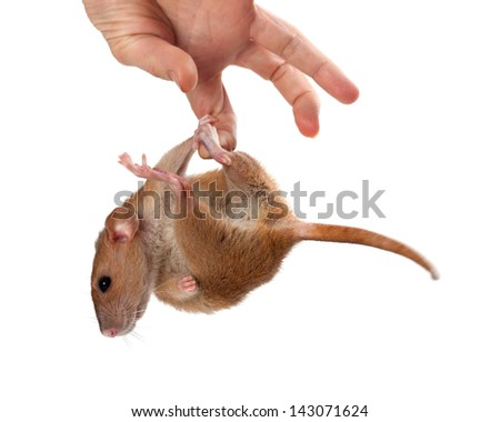 Fancy rat hang on hand. Isolated on white background. - stock photo