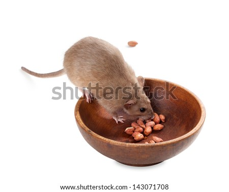 Fancy rat (Rattus norvegicus) eating peanuts from plate. Isolated on white background. - stock photo