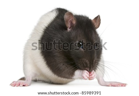 Fancy Rat, 1 year old, in front of white background