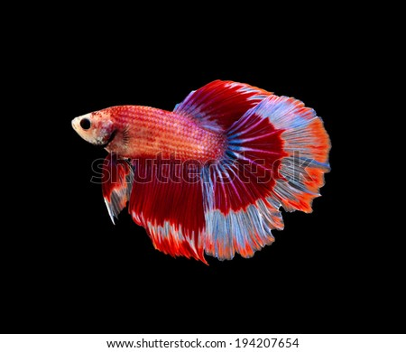 fancy siamese fighting fish - stock photo