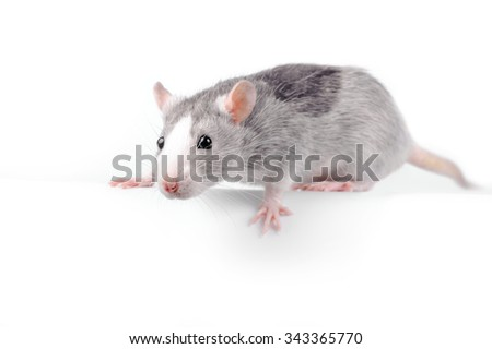 fancy silver rat over white background looking at camera  - stock photo