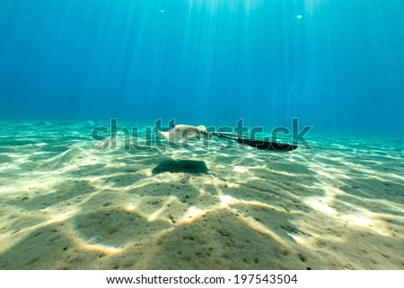 Fantail stingray the Red Sea - stock photo