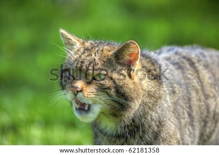 Fantastic close up of Scottish wildcat capturing character and excellent detail - stock photo