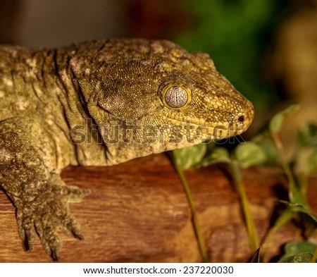 fantastic close-up portrait of tropical gecko. Selective focus, shallow depth of field. Tokay gecko (Gecko gecko). - stock photo