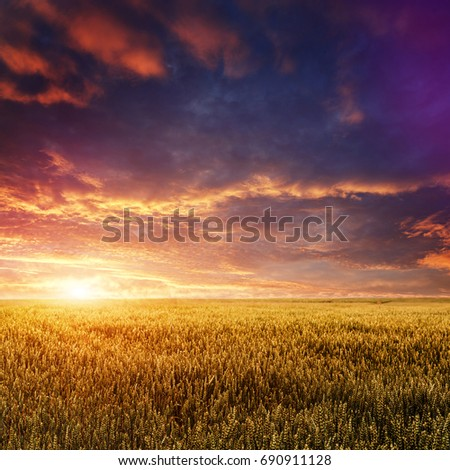 fantastic colorful sunset over wheat field. ears of cereal under the influence of sunlight. majestic, rural landscape.  Rich harvest Concept. creative image