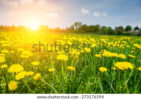 Fantastic field with fresh yellow dandelions flowers on the blue sky. Unusual scenery. Ukraine, Europe. Beauty world.  - stock photo