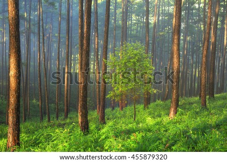 Fantastic foggy forest with pine tree in the sunlight and mist