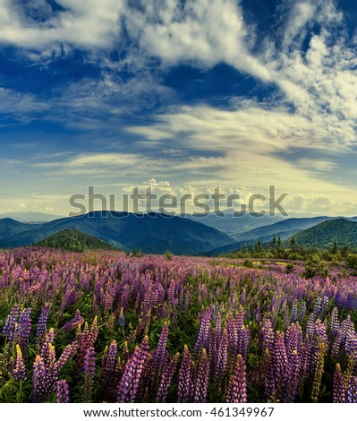 fantastic landscape. mountain meadow of purple lupine flowers on a sunny day. with majestic mountain peaks in the background. Beauty in the world. instagram toning effect