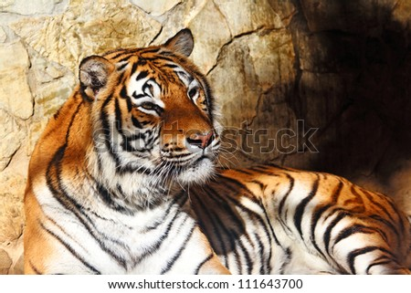 Fantastic specimen  of Bengal tiger posing placidly - stock photo