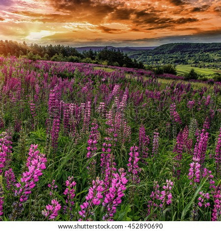 fantastic sunset. majestic overcast sky with  colorful clouds. over the mountain valley. Pink lupine flowers in the foreground. picturesque scene. breathtaking scenery. original creative images