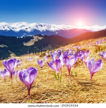 Fantastic view of the first spring flowers on the alpine meadow. Dramatic and picturesque morning scene. Place location: Carpathian, Ukraine, Europe. Artistic picture. Beauty world. - stock photo