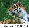 Far East Amur Tiger in the summer - stock photo