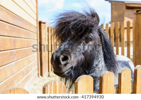 farm animal black pony behind a fence looking at the camera
