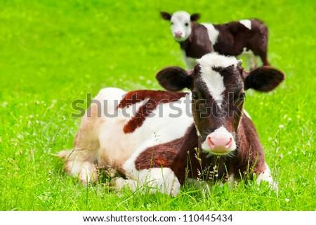 Farm animal. Two little calf on green summer meadow - stock photo