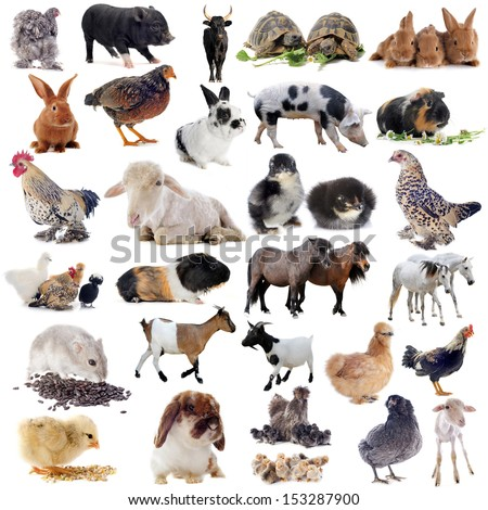 farm animals in front of white background - stock photo