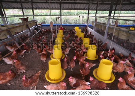 farm chickens - stock photo