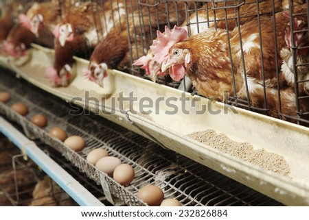 Farm egg production - stock photo