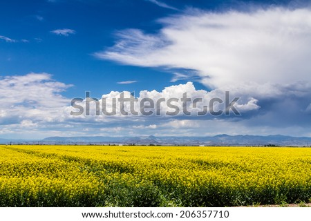 Farm field of blooming yellow canola seed on sunny summer day with dramatic white clouds - stock photo