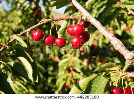 Farm Fresh Cherries Sweet Fruit Vine Cherry Tree Farm Agriculture - stock photo