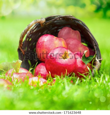 Farm fresh red apples in a wicker basket lying on its side in lush green grass, close up view with shallow dof - stock photo