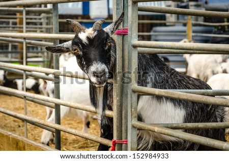 Farm goat with head through pen rails