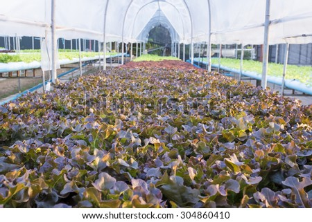 farm of fresh red and green vegetable salad in blue water pipe under translucent roof arch shape shelter - stock photo