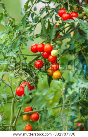 Farm of tasty red cherry tomatoes
