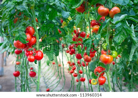 Farm of tasty red tomatoes on the bushes - stock photo