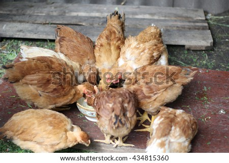 Farm. Poultry yard. Happy hens in cage free, free range, antibiotic and hormone free farming. - stock photo