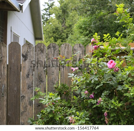 Farm shed with old fence and blooming roses.
