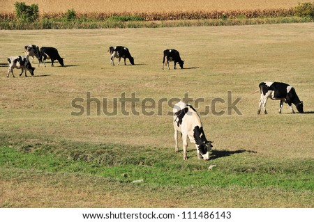 Farm with Holstein cow grazing dry grass on field