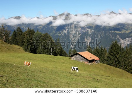 Farm with two cows in the alps in the Bernese Oberland, Switzerland - stock photo
