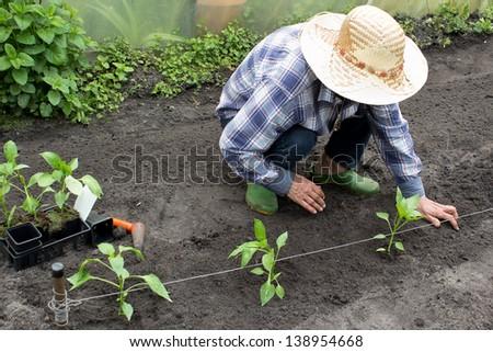 Farm women planting pepper seedlings in her garden - stock photo