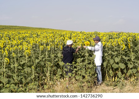 Farmer and agricultural engineer in the sunflower farm for inspecting - stock photo