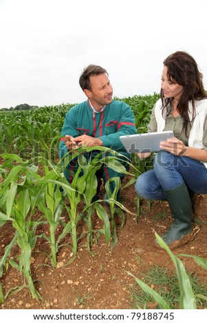 Farmer and researcher analyzing corn plant - stock photo