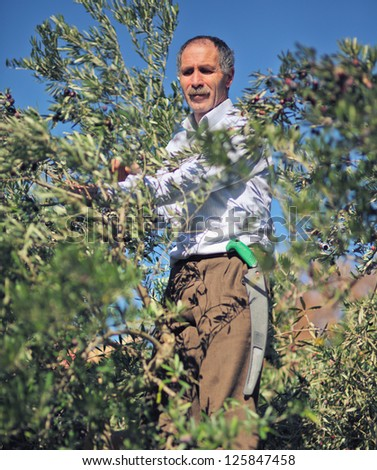 farmer  at work with olive tree - stock photo