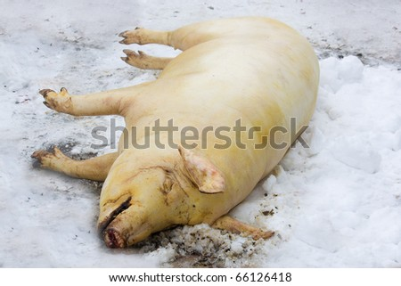 Farmer carries out a slaughter of pig. - stock photo