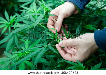 Farmer checking his marijuana plants - stock photo