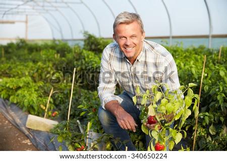 Farmer Checking Organic Chilli Plants In Greenhouse - stock photo
