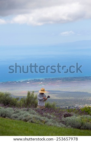 Farmer collecting lavender cuttings in Maui, Hawaii - stock photo
