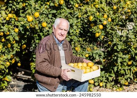 Farmer cutting lemons of a tree full of ripe fruit - stock photo