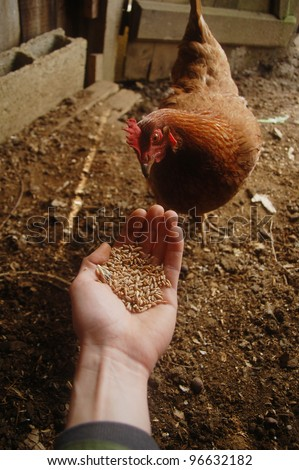 Farmer feeding a chicken from his hand. - stock photo