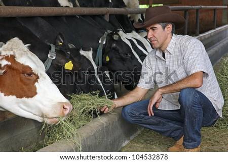 Farmer feeding cows - stock photo